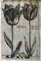 Tulips, from Crispijn van de Passe's Hortus Floridus (Arnhem, 1616)