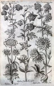 Columbines from de Bry's Florilegium