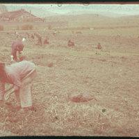 Hiller 09-080: Farmers working in a field in Nanking 2