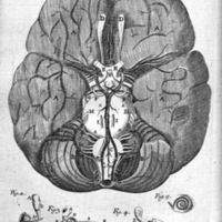 The anatomy of the humane bodies epitomized : wherein all the parts of man's body, with their actions and uses, are succinctly described, according to the newest doctrine of the most accurate and learned modern anatomists