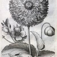 Florilegium renovatum et auctum, das ist, Vernewertes und vermehrtes Blumenbuch : von mancherley Gewächsen, Blumen uñ Pflantzen, welche uns deren Schönheit, lieblicher Geruch, Gebrauch, und manigfaltiger Unterschied angenehme machet, die nicht allein auss der von uns bekandter, sondern auch den alten unbekandter Welt, fruchtbaren Schoss, uns herfür gegeben werden; die hierinnen auffs zierlichste und fleissigste, dem Leben nach, so viel als möglich gewesen, in Kupffer gebracht, und mit ihren Stengeln, Blettern, Blumen, Samen, Hülsen, Zwibeln, und Wurtzeln, derer Liebhabern für Augen gestellt zufinden; bey derer jedem Stück, sein eygentlicher rechter Namen, aber umb der Gewissheit, und sicherer Erkandtnuss willen, nur in Latinischer Sprach gesetzet.